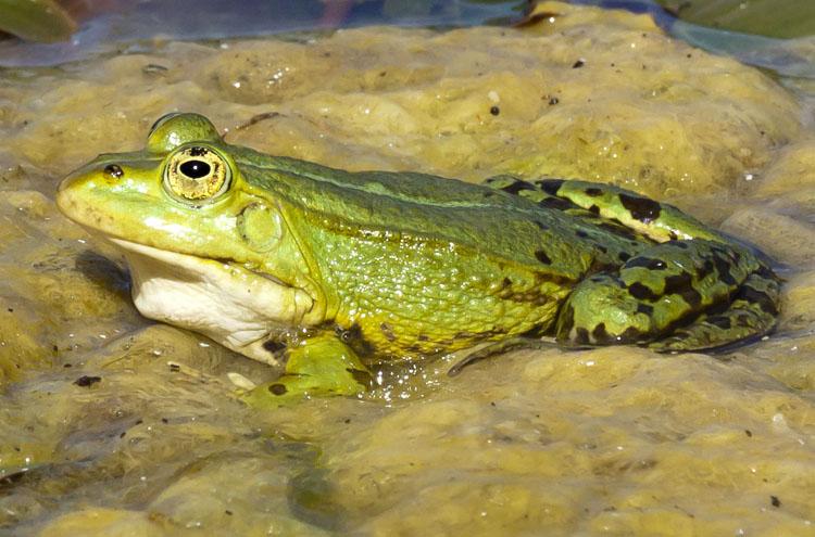 En stor ätlig groda sittande i vattnet i en damm med grönalger täckande vattenytan en solig dag.