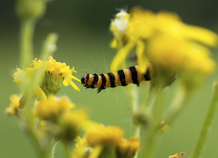 Karminspinnarlav, svart och orangerandig, sittande på gå en gul flockblomstrig växt