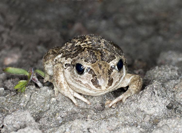 Lökgroda fotad på natten på land i sandig miljö.
