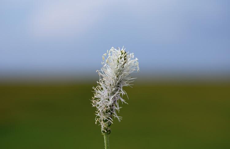 Blommande vippa av kärlväxten rödkämpar